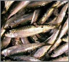 Sardine saporite ricetta veloce