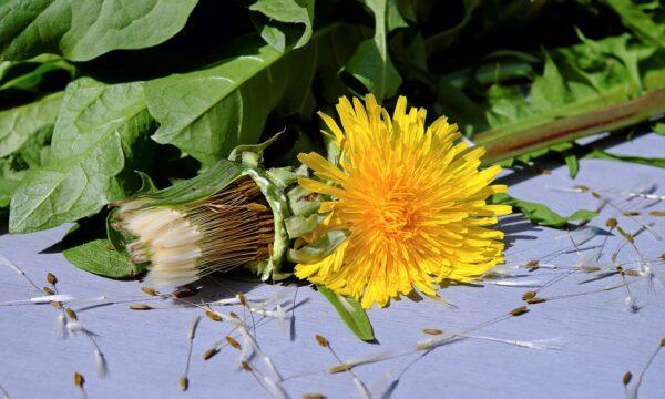 Tarassaco come utilizzare i suoi fiori in cucina