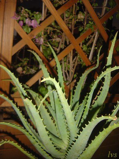 Aloe arborescens – efficace doposole e non solo