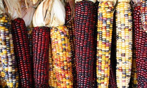 Il mais non può mancare a Thanksgiving