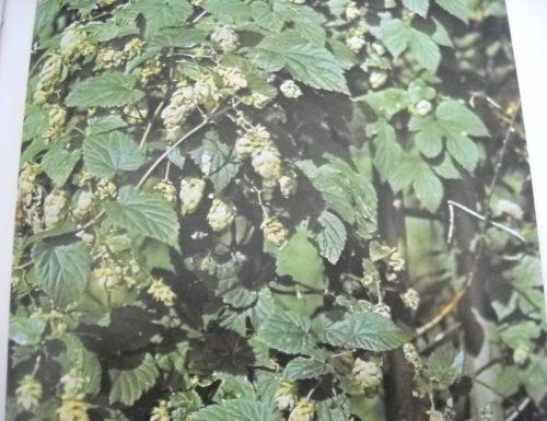 Luppolo asparagi di campo